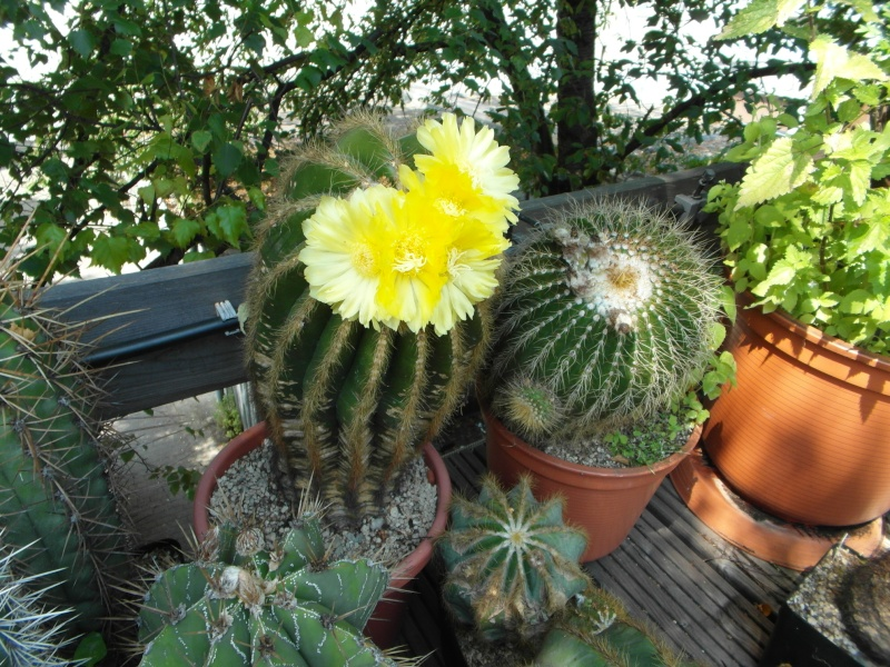 Cacti and Sukkulent in Köln, every day new flowers in the greenhouse Part 72 Bild_948