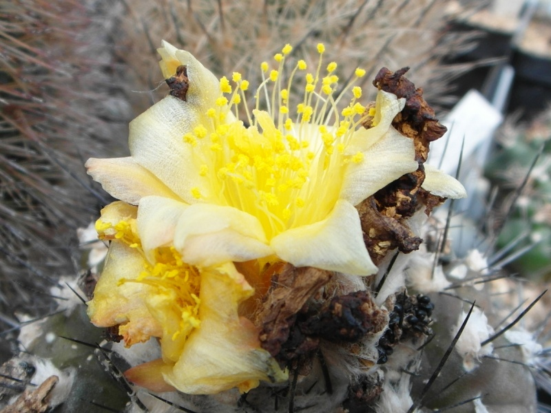 Cacti and Sukkulent in Köln, every day new flowers in the greenhouse Part 72 Bild_953