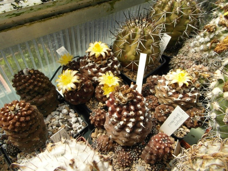 Cacti and Sukkulent in Köln, every day new flowers in the greenhouse Part 72 Bild_954