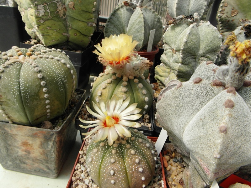 Cacti and Sukkulent in Köln, every day new flowers in the greenhouse Part 72 Bild_956