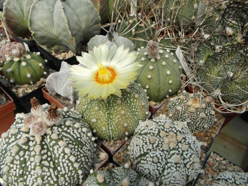 Cacti and Sukkulent in Köln, every day new flowers in the greenhouse Part 72 Bild_957