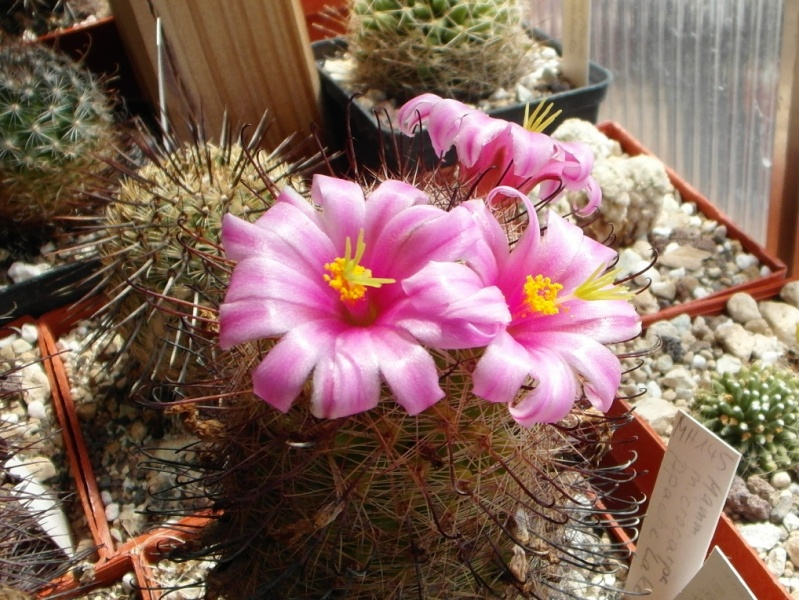Cacti and Sukkulent in Köln, every day new flowers in the greenhouse Part 72 Bild_958