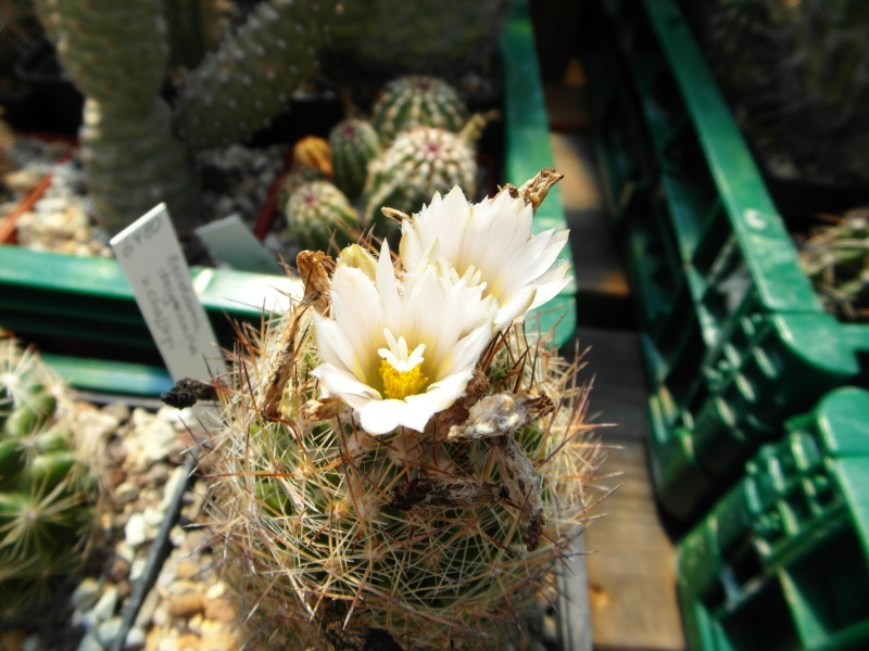 Cacti and Sukkulent in Köln, every day new flowers in the greenhouse Part 72 Bild_960