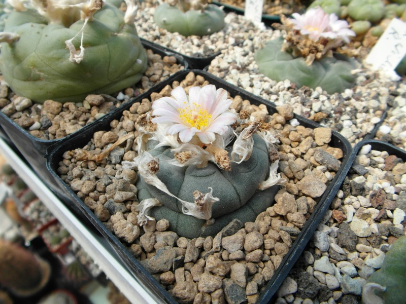 Cacti and Sukkulent in Köln, every day new flowers in the greenhouse Part 72 Bild_962