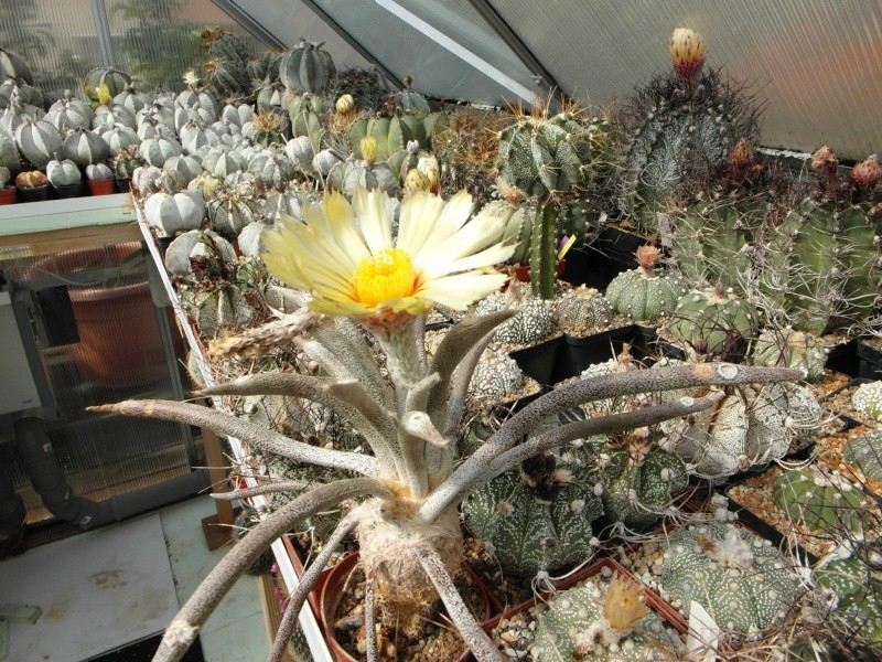Cacti and Sukkulent in Köln, every day new flowers in the greenhouse Part 73 Bild_970