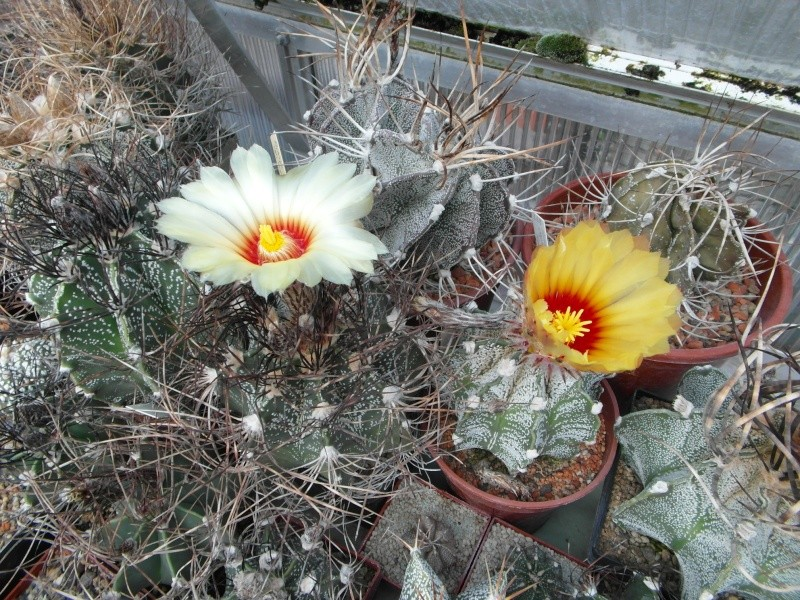 Cacti and Sukkulent in Köln, every day new flowers in the greenhouse Part 73 Bild_971