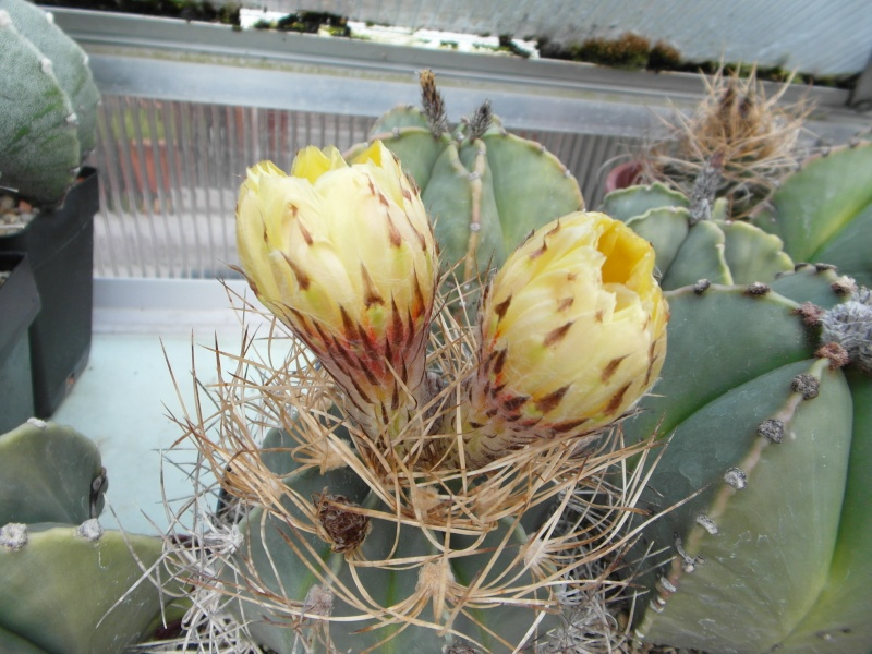Cacti and Sukkulent in Köln, every day new flowers in the greenhouse Part 73 Bild_972