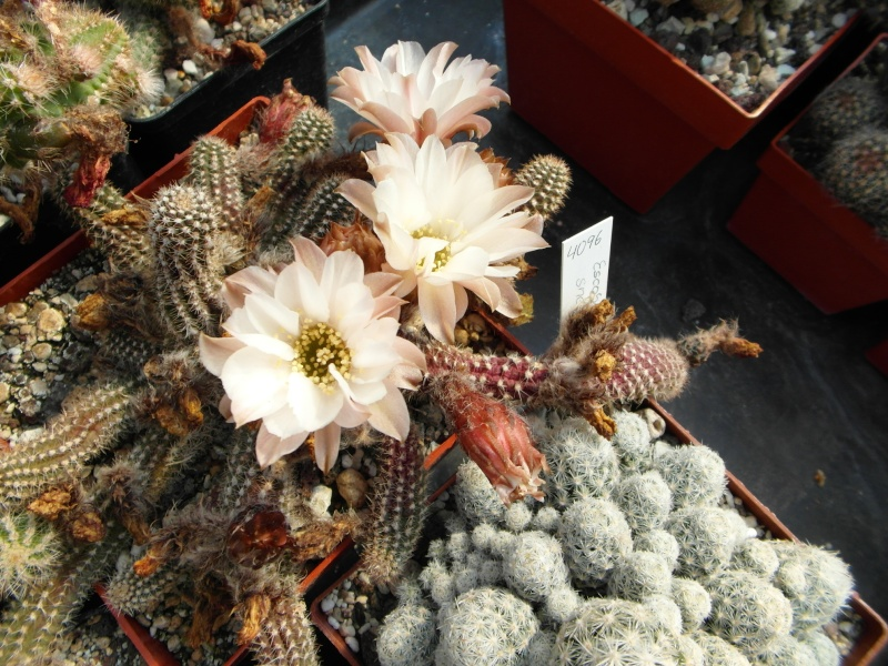 Cacti and Sukkulent in Köln, every day new flowers in the greenhouse Part 73 Bild_976