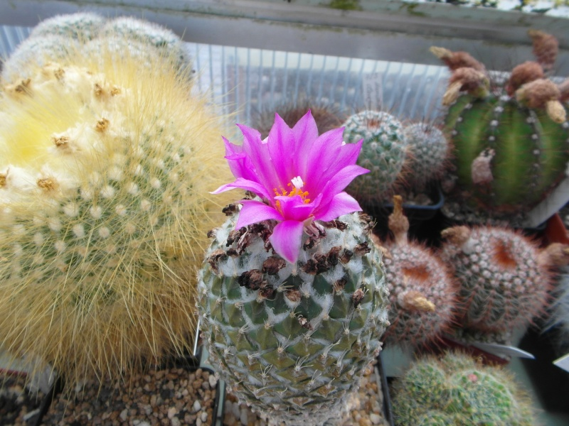 Cacti and Sukkulent in Köln, every day new flowers in the greenhouse Part 73 Bild_985
