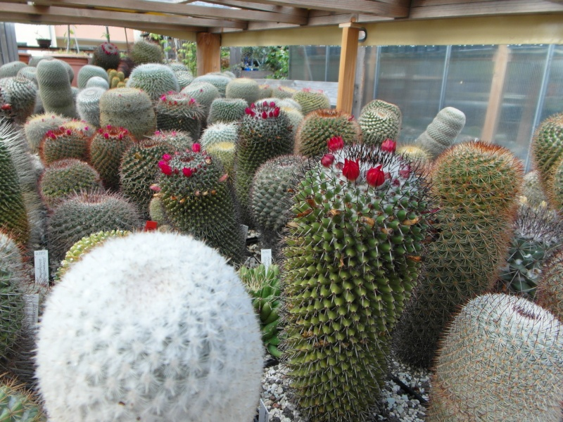 Cacti and Sukkulent in Köln, every day new flowers in the greenhouse Part 73 Bild_986