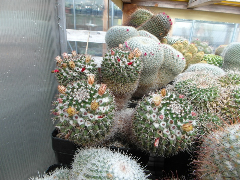 Cacti and Sukkulent in Köln, every day new flowers in the greenhouse Part 73 Bild_988