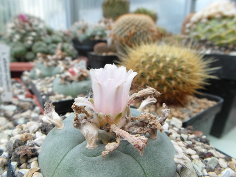 Cacti and Sukkulent in Köln, every day new flowers in the greenhouse Part 73 Bild_991