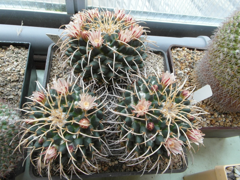Cacti and Sukkulent in Köln, every day new flowers in the greenhouse Part 73 Bild_993