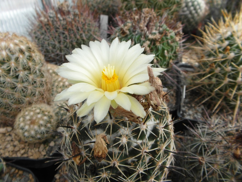 Cacti and Sukkulent in Köln, every day new flowers in the greenhouse Part 73 Bild_997