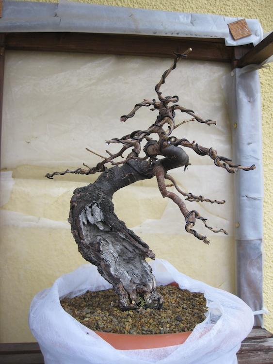 "Prunus mahaleb ""Stelo di giada"". - Pagina 4 Img_4511"