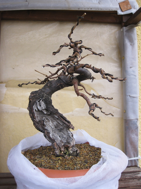 "Prunus mahaleb ""Stelo di giada"". - Pagina 4 Img_4512"