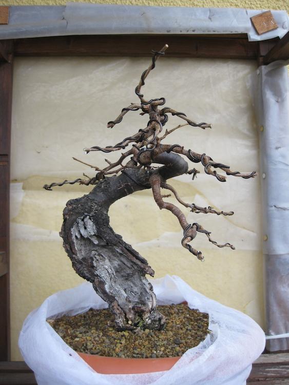 "Prunus mahaleb ""Stelo di giada"". - Pagina 4 Img_4513"