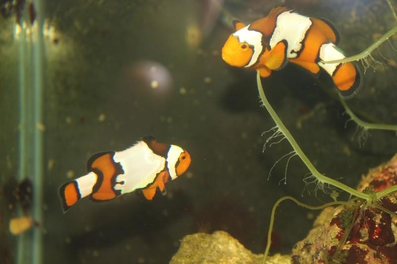 repro de poissons clown ...ocellaris Img_1210