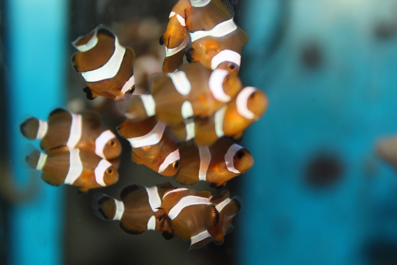 repro de poissons clown ...ocellaris Img_1311