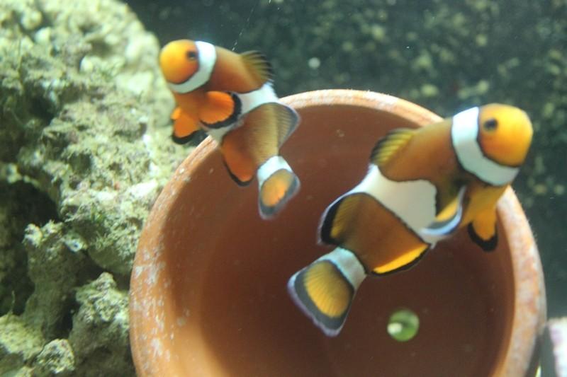 repro de poissons clown ...ocellaris Img_1312