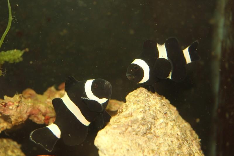 repro de poissons clown ...ocellaris Img_1313