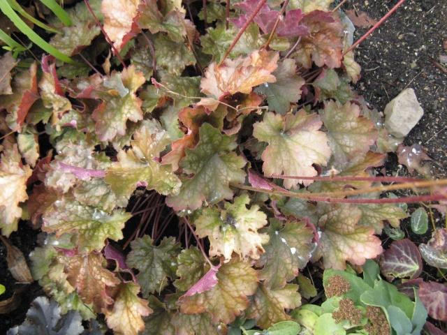 Heuchera Autumn Leaves Autumn10
