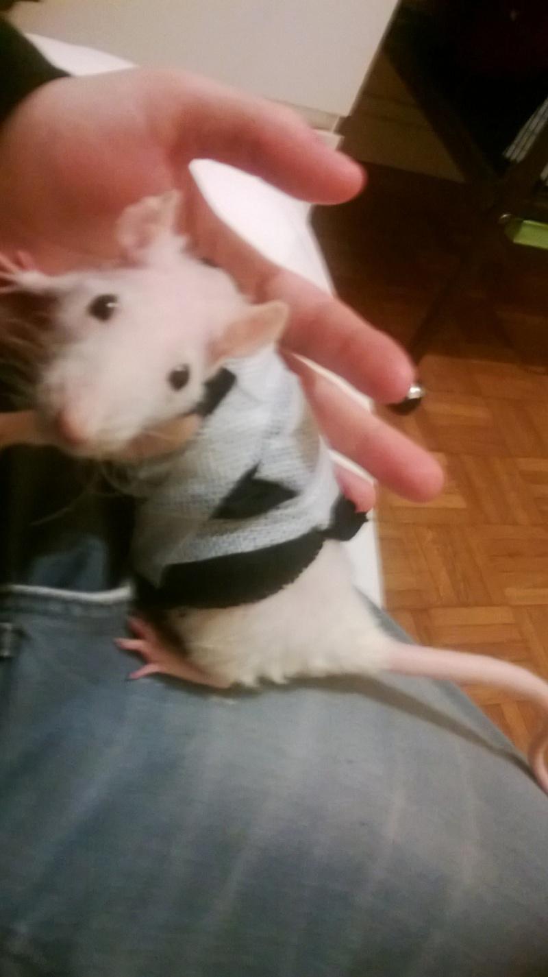 Le rat saucisson - Protéger une plaie après opération - Page 8 Wp_20111