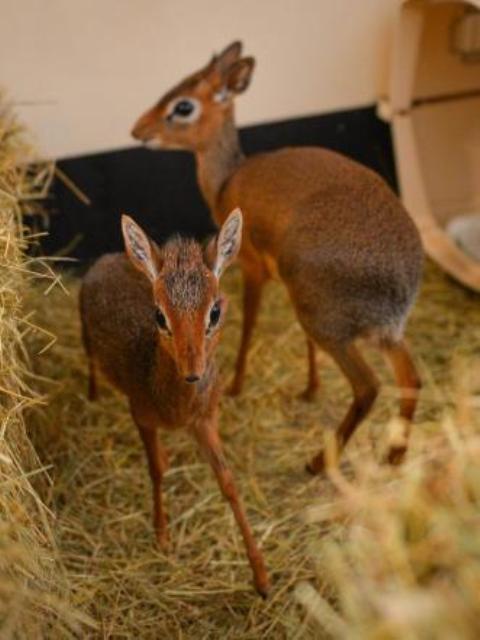 Antilopa më e veçantë në botë, vetëm 20 centimetra Antilo10