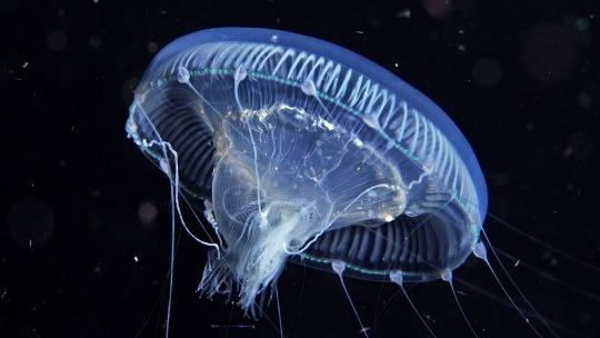 Perse njerezit kane rreth 20 vjet qe rrisin kandila deti ne hapesire? Jellyf10