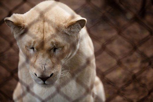 Trishtimi i kafshëve në kopshte zoologjike! Luani10