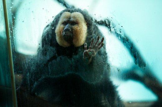 Trishtimi i kafshëve në kopshte zoologjike! Majmun10