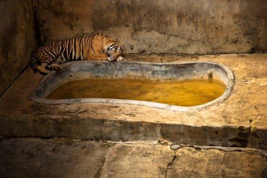 Trishtimi i kafshëve në kopshte zoologjike! Tigri10
