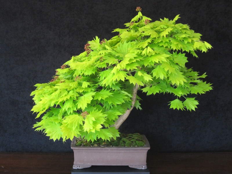 Videos of a Maple being styled by William N. Valavanis using a Pine bonsai styling technique Bonsai11