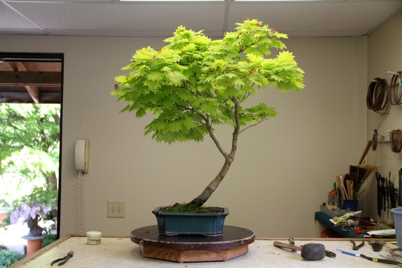 Videos of a Maple being styled by William N. Valavanis using a Pine bonsai styling technique Full_m14
