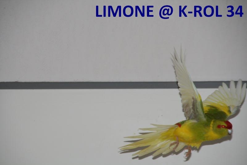 Présentation de Becco et Piuma 34 Limone10