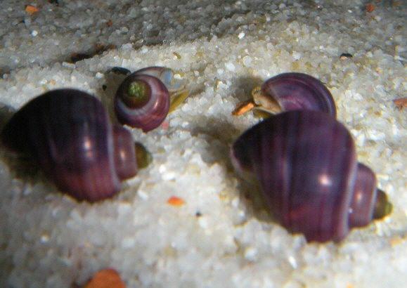 quelle est cette espèce d'escargots ??? Fwsnai10