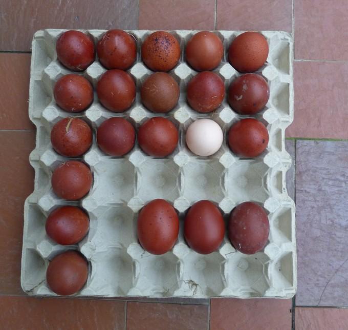 2014 - œufs de mes poulettes Marans 2014 Auf310