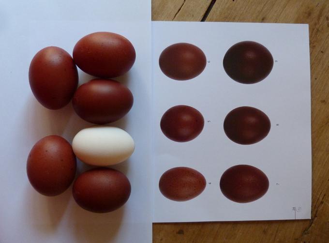 2014 - œufs de mes poulettes Marans 2014 Aufs210