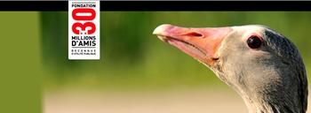 """Signez la pétition """"contre le plumage des oies vivantes"""". Oies10"""