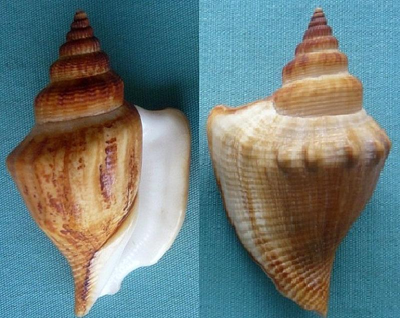 Dolomena labiosa - (Wood, 1828) 00424110