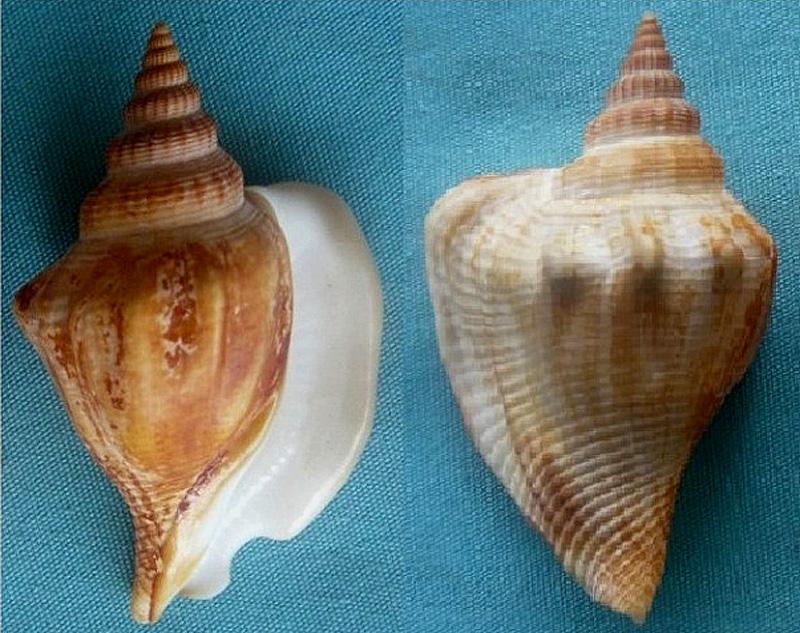 Dolomena labiosa - (Wood, 1828) 00424111