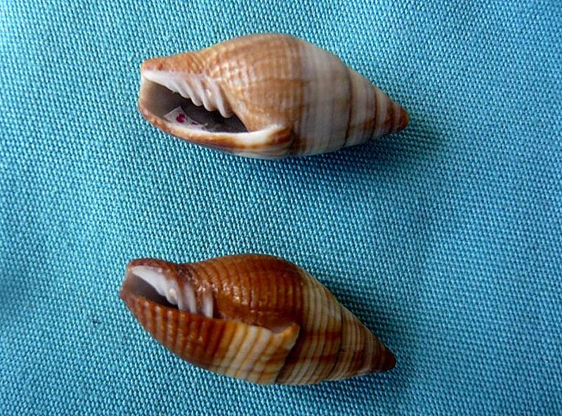 Strigatella aurantia - (Gmelin, 1791)  0071710