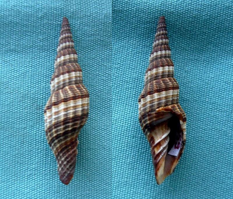 Vexillum citrinum (Gmelin, 1791)  0082710
