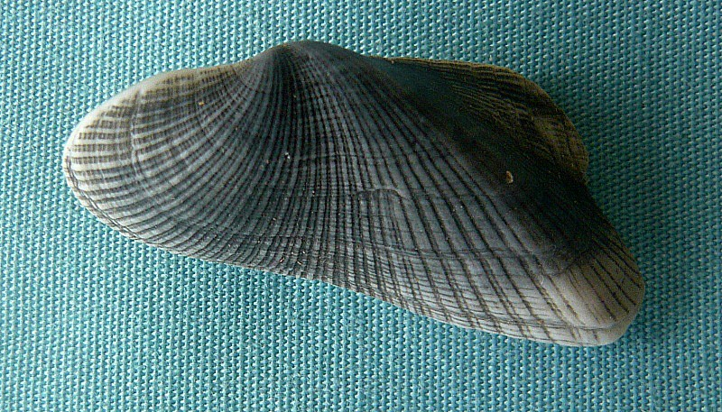 Trisidos torta - (Mörch, 1850)  00912_10