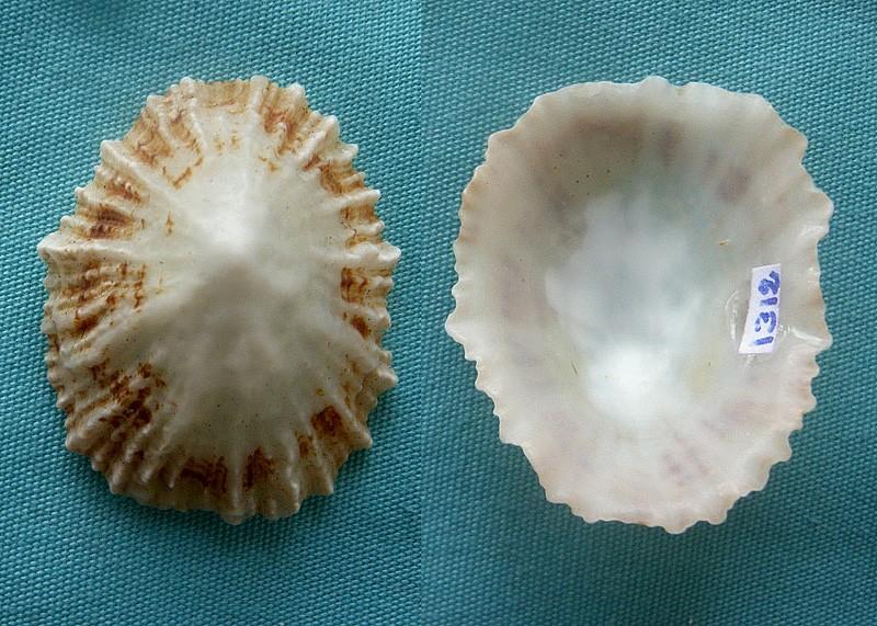 Patella ulyssiponensis Gmelin 1791 0111510