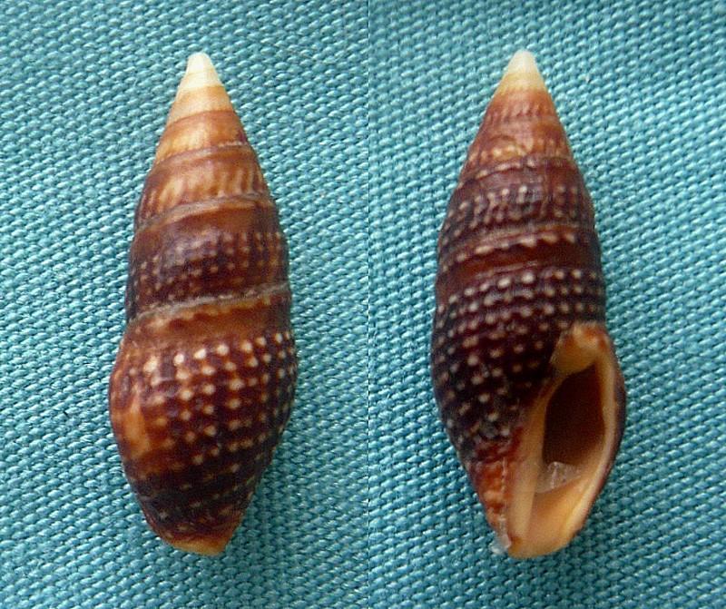 Crassispira cerithina - (Anton, 1838) 0141410