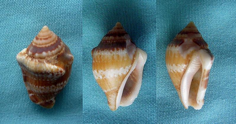 Canarium mutabile (swaison,1821) 0201410