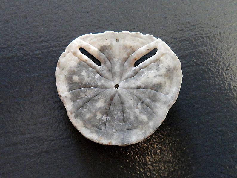Clypeasteroida - Astriclypeidae - Echinodiscus bisperforatus Leske, 1778  100pho10