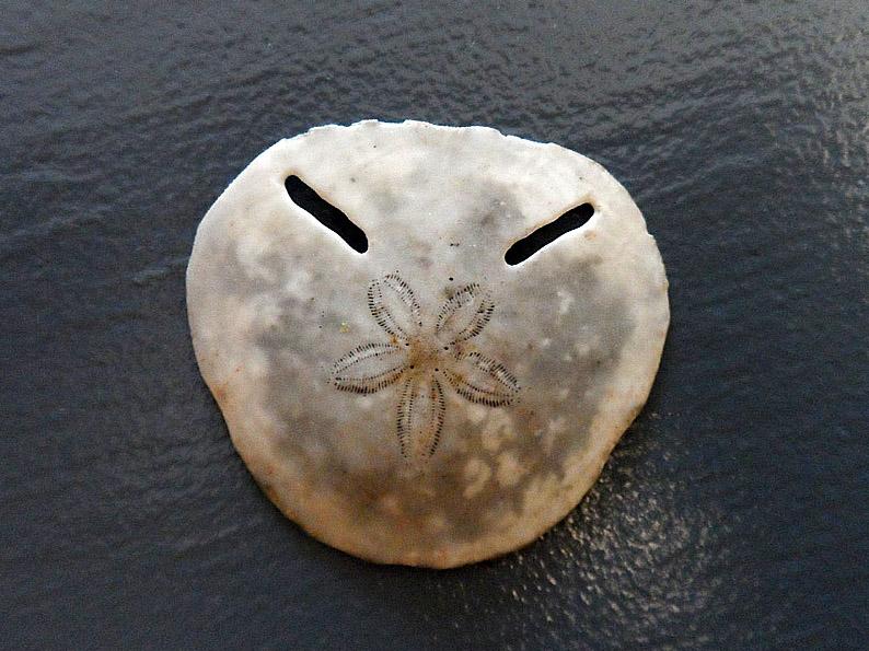 Clypeasteroida - Astriclypeidae - Echinodiscus bisperforatus Leske, 1778  101pho10
