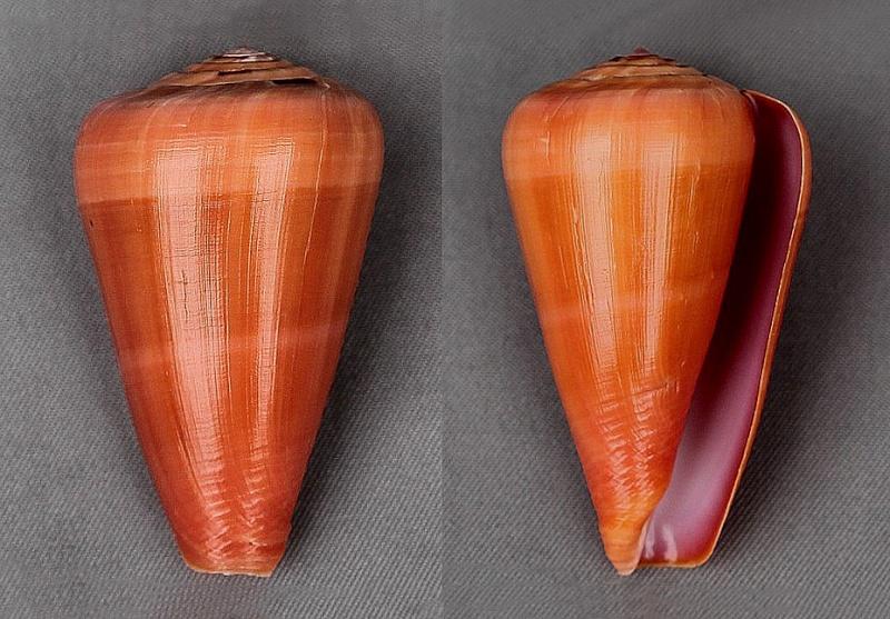 Conus (Darioconus) lohri   Kilburn, 1972 3683-110